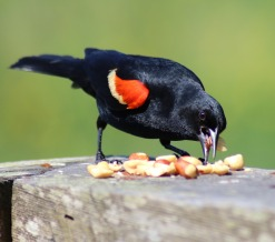 blackbird-2378792_1280