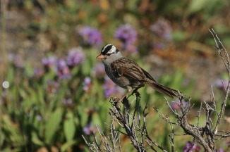 white-crowned-sparrow-1921800_1280