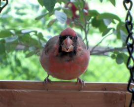 cardinal-554964_1920