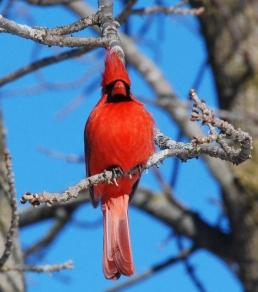 cardinal-646939_1920